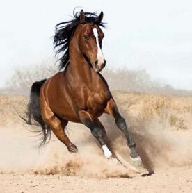 世界上跑得最快的马种,英国纯血马(2分23秒跑完2400米)