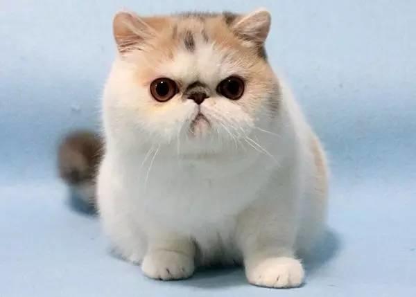 世界最贵的猫排行榜,阿什拉豹猫61万折耳猫英短最便宜