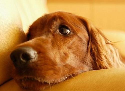 世界上最可爱的狗排行榜,世界上最可爱的狗排名