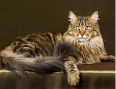 世界上最大的猫排行榜 十大大型宠物猫品种