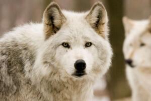 世界上最好看的狼排行榜,好看的狼的品种大全