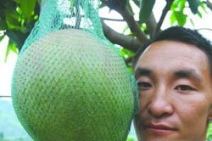 世界上最大的芒果 重达8斤
