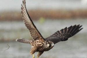 地球上飞得最快的动物:游隼