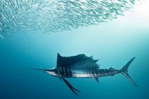 【水中游得最快的鱼】世界上游得最快的鱼