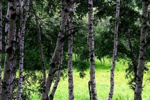 世界上最硬的树木:铁桦树