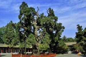 盘点陕西境内十大古代名人手植树 古人爱种树