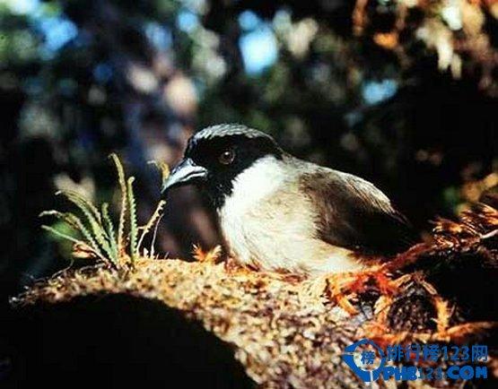 po'ouli鸟又被称为夏威夷蜜旋木雀,栖息在美国夏威夷群岛上,并以它那独特的黑脸颊而著称,是世界上最稀有的鸟类之一,是独一无二的。到上世纪70年代才发现这种木雀的存在,它们居住在哈雷阿卡拉火山西南部的峭壁上。由于栖息地遭到破坏以及一些食肉性动物(如猫和猫鼬)的引入等原因,其数量不断地减少。据野生动物专家统计,2003年这种鸟类的数量仅剩下3只。人们试图让余下的木雀交配,最终还是不能阻止这个物种的灭绝。灭绝原因:栖息地减少,并伴随着瘟疫,食肉动物的出现及食物缺少,当地树蜗牛数量减少。 9.