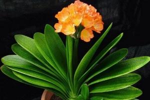 盘点十大适合放在客厅的盆栽花卉 寓意不一般
