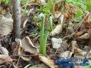 【蕨菜图片】蕨菜是什么?蕨菜有毒吗?蕨菜对健康有好处吗?