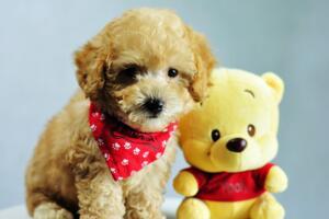 【图】泰迪狗吃什么狗粮好,泰迪狗粮排行榜
