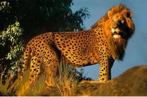 世界最奇特的十大杂交动物排行榜:狮子的头,豹的身体