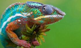 视力最好的动物排行榜,变色龙具有360度视力(聚焦眼球)