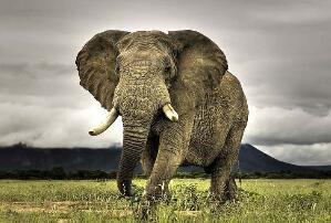 陆地战斗力最强的动物:成年雄性非洲象(单挑狮群碾压犀牛)