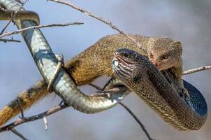 蛇玝,蛇的天敌不惧毒液(附蛇玝大战眼镜蛇图解)