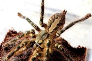 世界十大蜘蛛 六眼沙蛛上榜,智利红玫瑰很适合家养