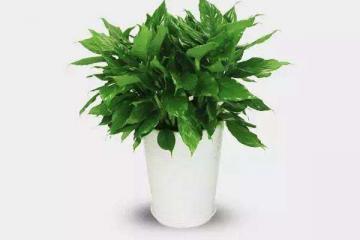 八种植物招财又旺宅 万年青排行第一,发财树、金钱树上榜