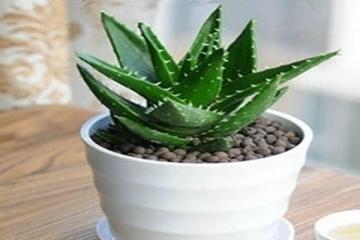 净化室内空气的十大盆栽 健康又美观,虎皮兰、常青藤上榜