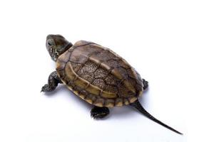 十大最好养的龟 适合新手养的宠物龟盘点
