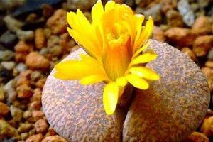 10大最稀有多肉植物 石中花、花笼和霓虹灯玉露上榜