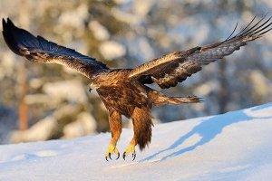 世界三大猛禽排名:金雕第一,利爪可深入猎物头骨
