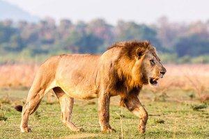 猫科三巨头排名:西伯利亚虎第二,第一重达240公斤