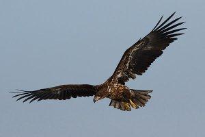 世界十大老鹰排名 第一体长超过一米 是最凶猛的老鹰