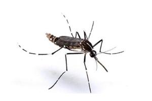 世界上最毒的蚊子前十名:白纹伊蚊上榜,第五是登革热病毒传播者