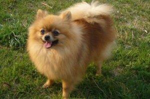 十大适合家养的小型犬 泰迪犬上榜,第七是世界上最小的犬种