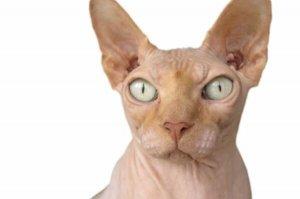 世界十大最聪明的宠物猫,孟加拉豹猫上榜,第二被称为挖煤工