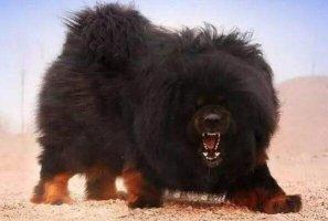 世界凶悍名犬排行榜 杜高犬上榜,第一原产于中国