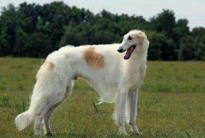世界十大最好的狩猎犬 法老王猎犬上榜,第三也可作为伴侣犬