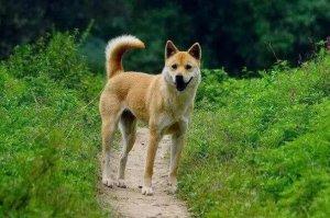最护主的狗狗排行 拉布拉多犬上榜,第一是中国本土犬种