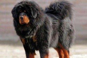 """十大最佳保护主人的犬 蝴蝶犬上榜,第二被誉为""""犬中之王"""""""