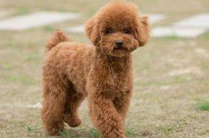最爱咬人的狗排名 松狮犬上榜,第一是法国国犬