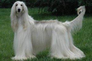 世界上十大毛最长的犬 阿富汗猎犬第一,西施犬上榜