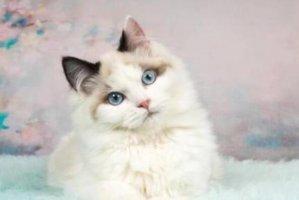 """十大颜值最高的猫 加菲猫上榜,第五被称为""""猫中贵族"""""""